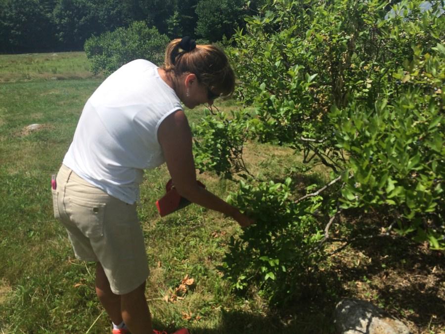 Julie picking blueberries