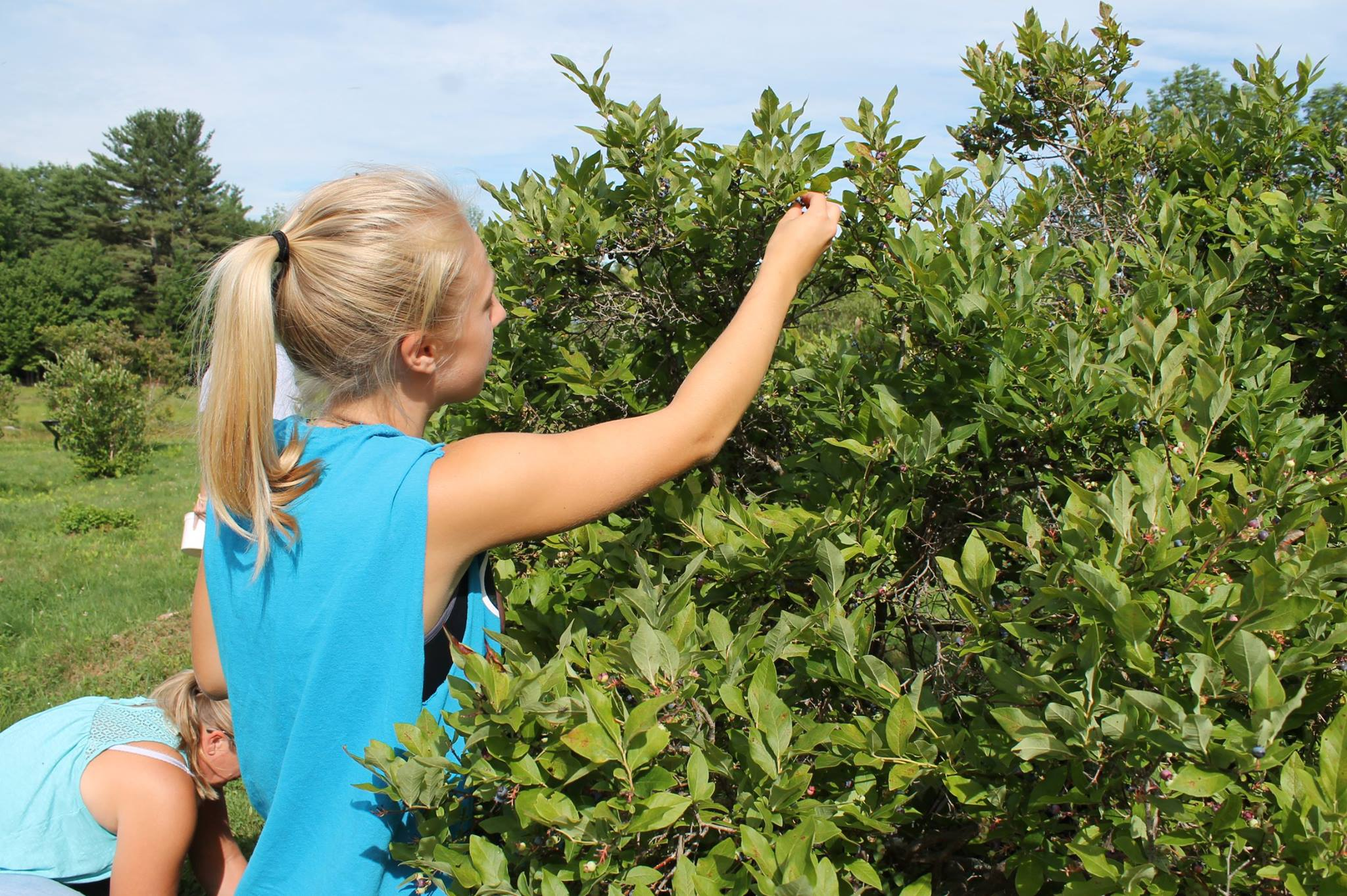 Wild tall bush blueberries are up to 6 ft tall.