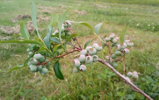 Blueberries turning pink to blue