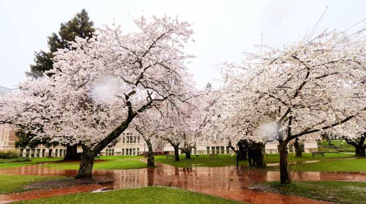 2018-03-23 UW Cherry Blossoms 11-23-07