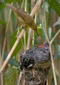 Reed warbler feeding cuckoo