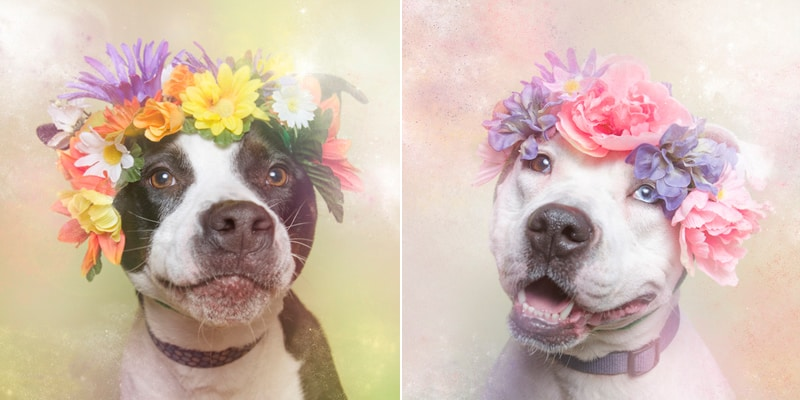 Pitbull makeover with flower crowns by Sophie Gamand