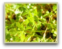 picture of parsley plant