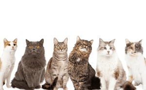 How Many Breeds of Cats Are There in The World?