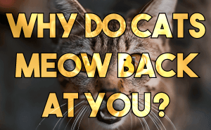Why Do Cats Meow Back At You?