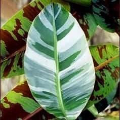 Buy Variegated Banana Trees At Best Price Plants