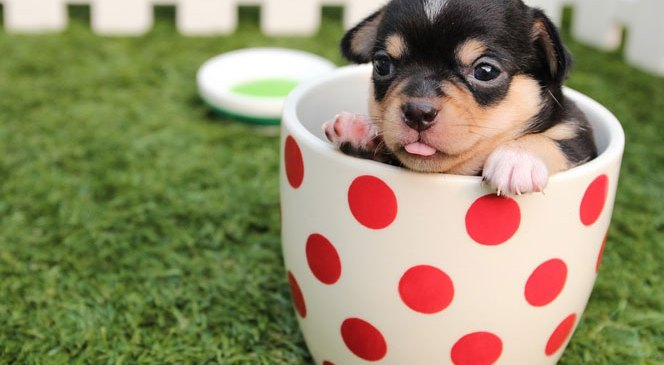 The Chihuahua Guide: Do You Know How to Take Care of Your Dog