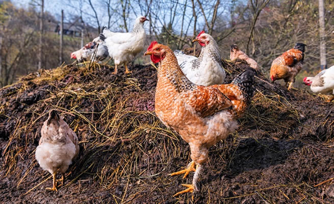 Best tips for applying chicken manure in your garden and how to manage your deep litter system