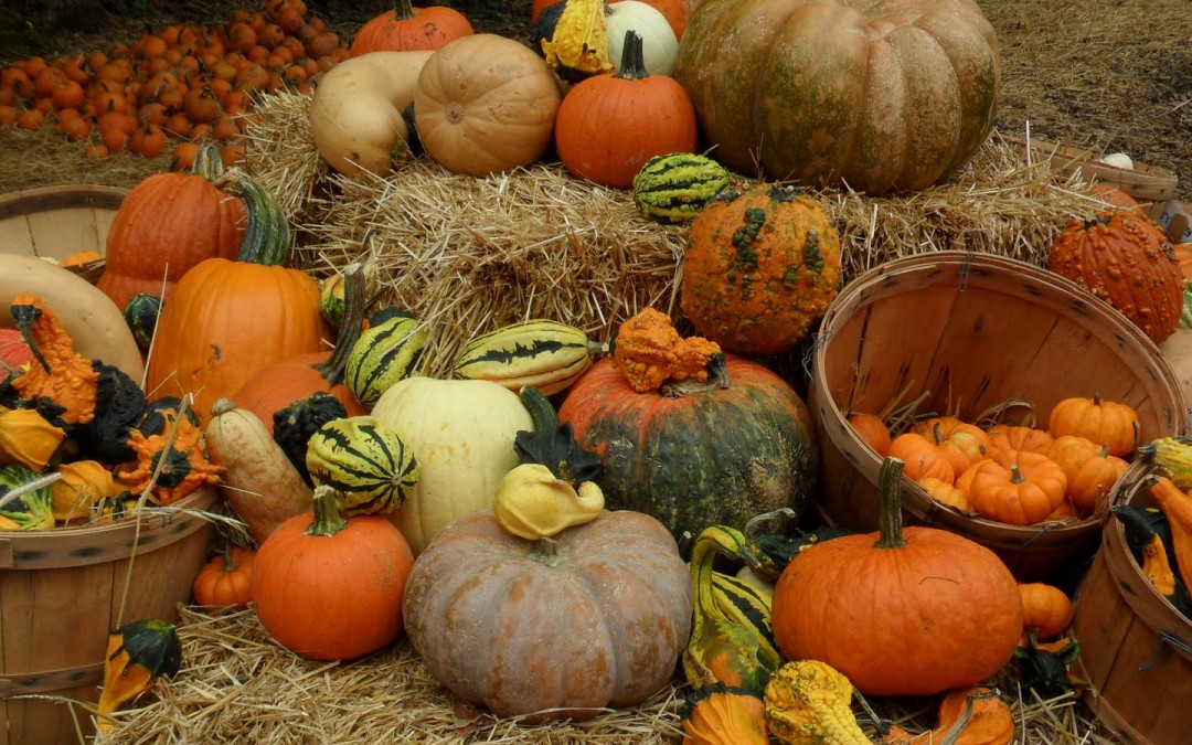 Image result for pumpkin patch davis