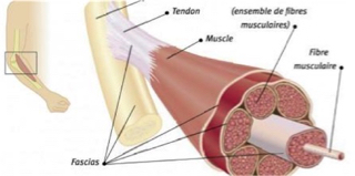 Animated Diagram of Muscle, Tendon & Fascia