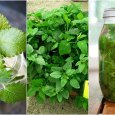 lemon balm benefits