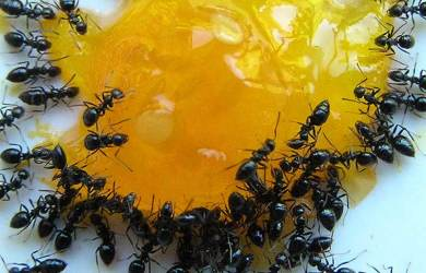 How-to-Get-Rid-of-Ants-at-Home-Easy