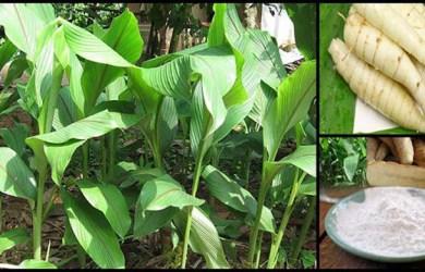 Arrowroot (Maranta arundinacea) Benefits