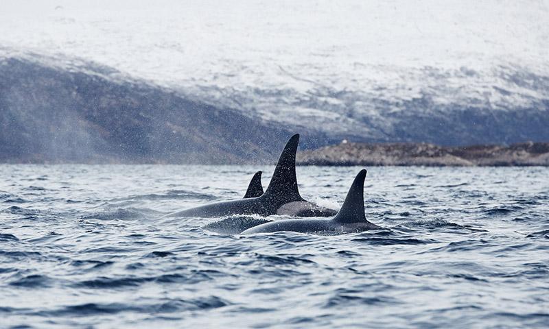 orques dans la nature