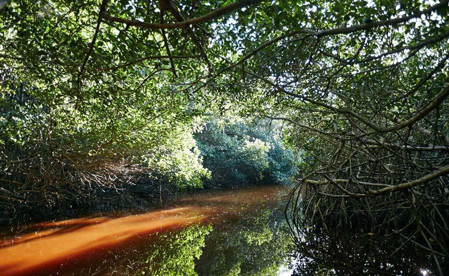 Mangrove-Rouge-Celestun