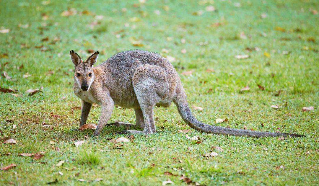 kangourou-queensland-ou-les-voir