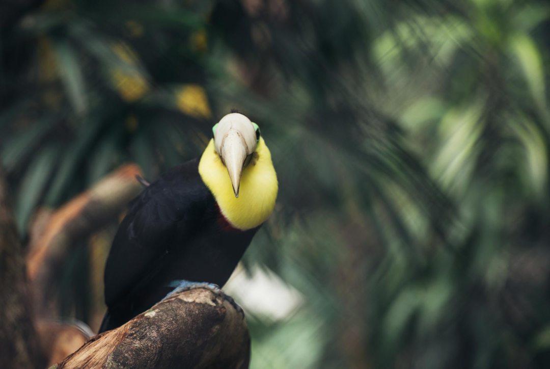 toucan bec 3D