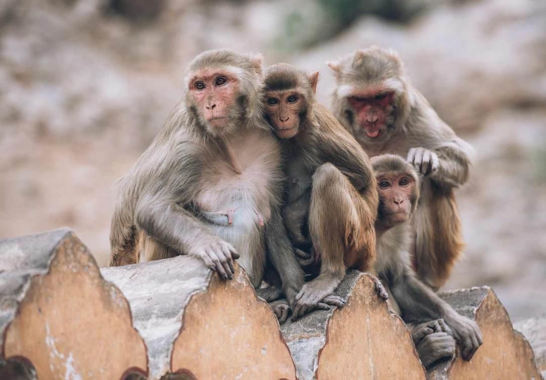 temple des singes jaipur acces