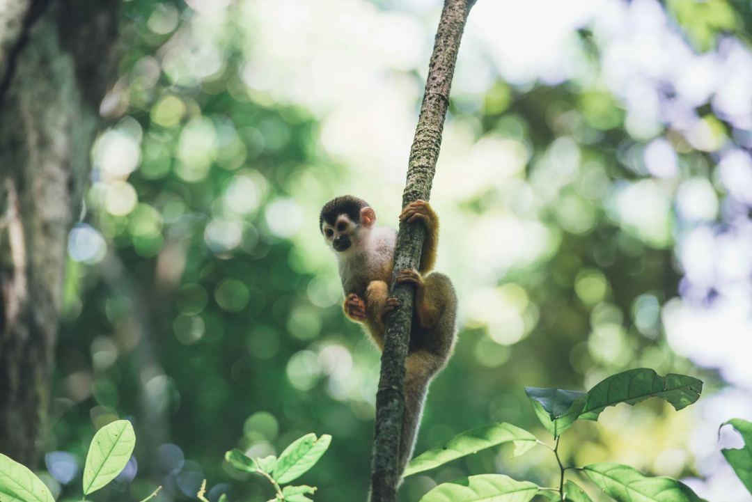 ou voir des singes au costa rica