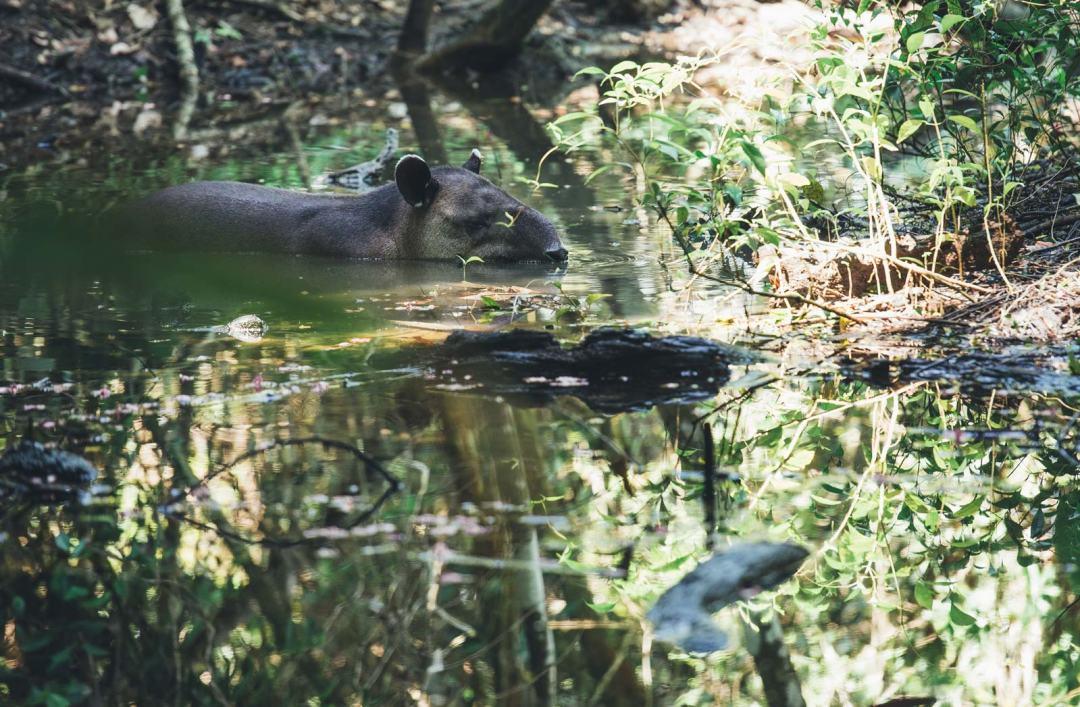 ou voir des tapirs au costa rica