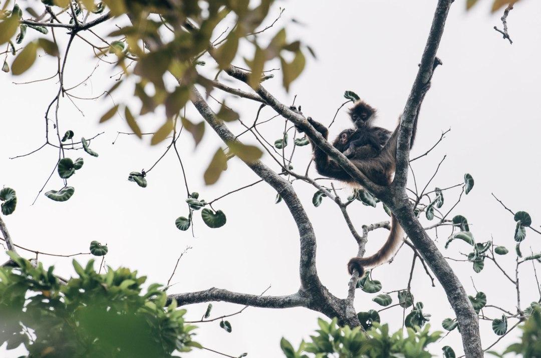 Singes Araignées, Mexique