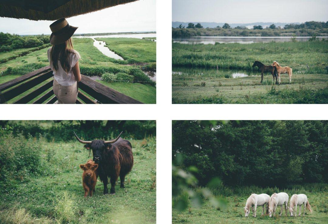 Marais Vernier, Vaches Écossaises et chevaux