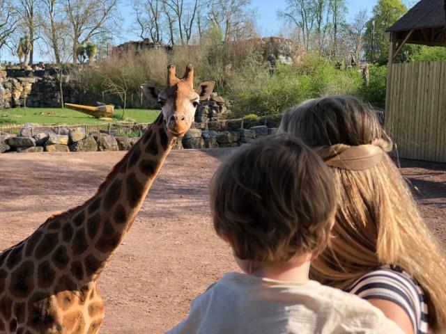 Giraffen Pairi Daiza