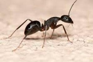 pesky-ants