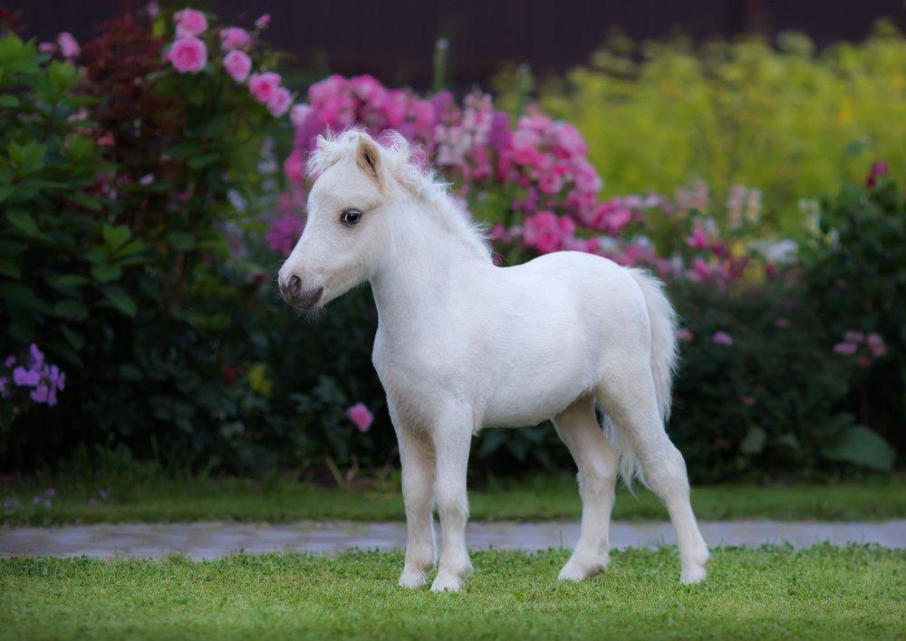 μικρότερο αλογάκι στον κόσμο