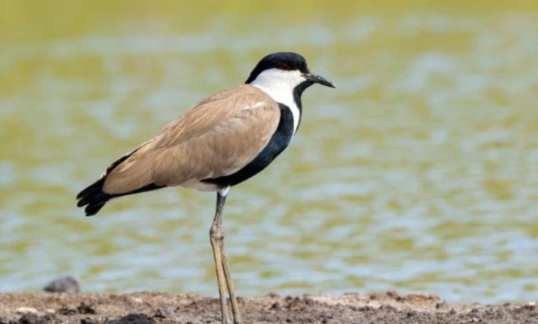 πουλί λίμνη καρλά
