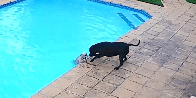 πιτμπουλ σκυλάκι