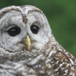 <i>Podcast: Bainbridge Outdoors:</i> <br>Owls, raptors, opossums and more at West Sound Wildlife Shelter