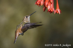 HummingbirdFemale3_Aug7