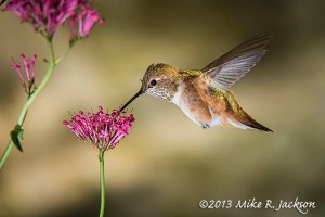 HummingbirdFemale4_Aug6