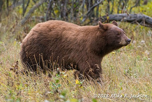 Cinnamon Bear_Sept28