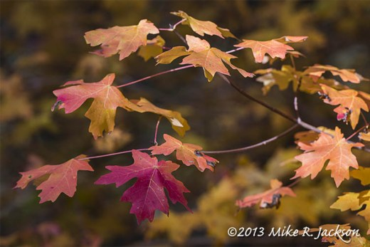 Maple Leaves Oct 2