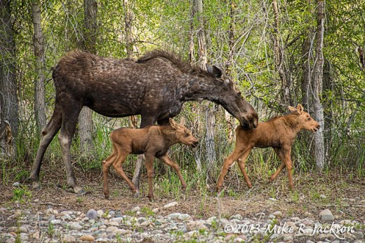 MooseCalves3_June7