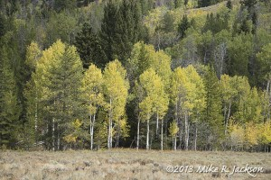 Moran Junction Aspens
