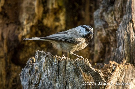 Mountain Chickadee Oct15