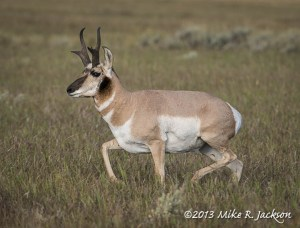 Pronghorn Buck Sept.16