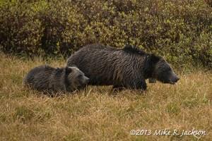 Togwotee Bears