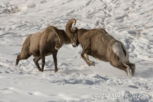 Bighorn Head Butting Dec27