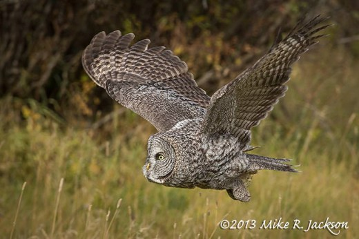 Great Gray Flight Oct7
