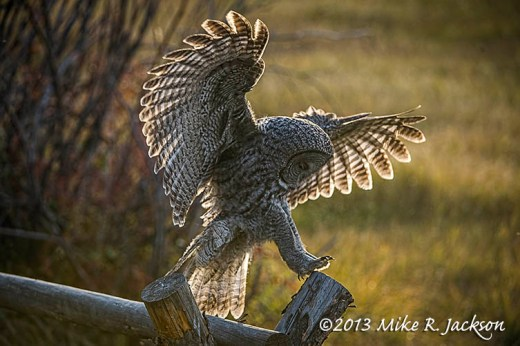 Great Gray Landing Buckrail Oct7