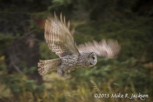 Great Gray Blurred Flight_Oct12