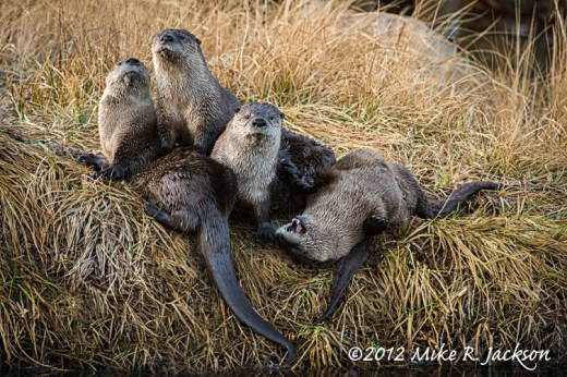 Otter Family Nov27