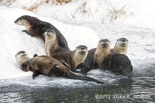 Otter Family Dec22