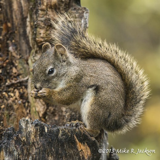 Red Squirrel1 Oct 14