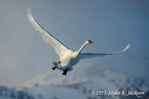 Swan Flight Feb9