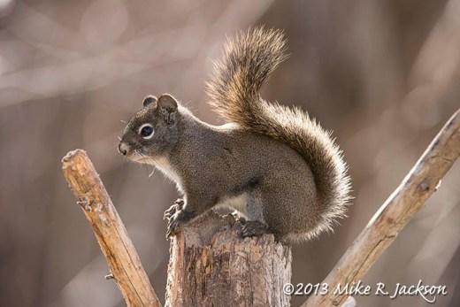 Web_RedSquirrel_Nov9
